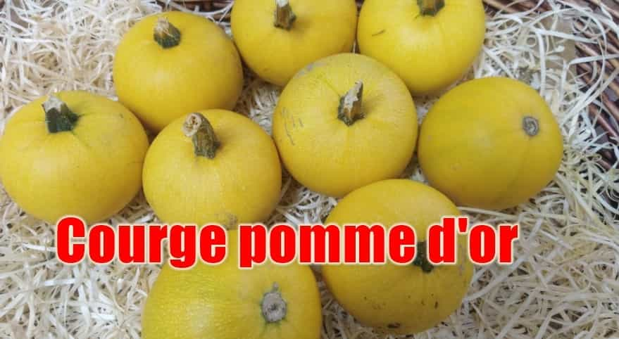 courge pomme d'or