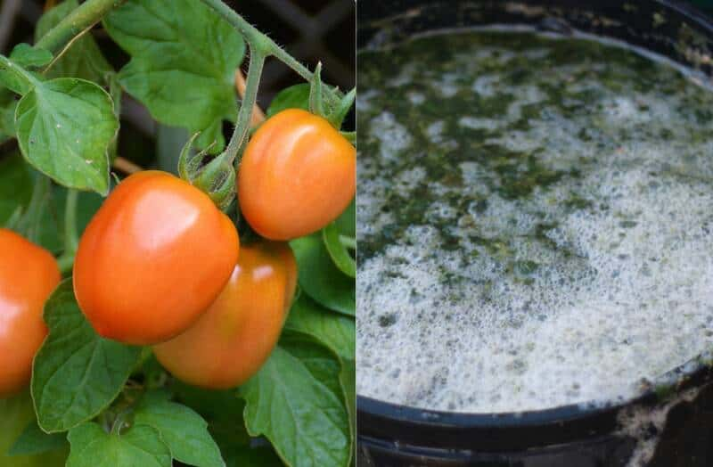 purin d'orties pour les tomates