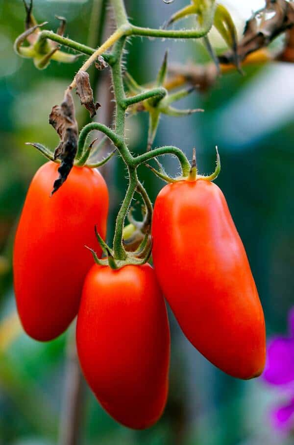 tomates et purin d'orties